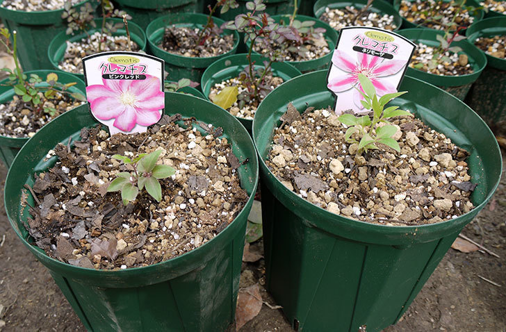 クレマチス-ネリモーザとピンクレッドをスリッド鉢に植えた。2016年-1.jpg