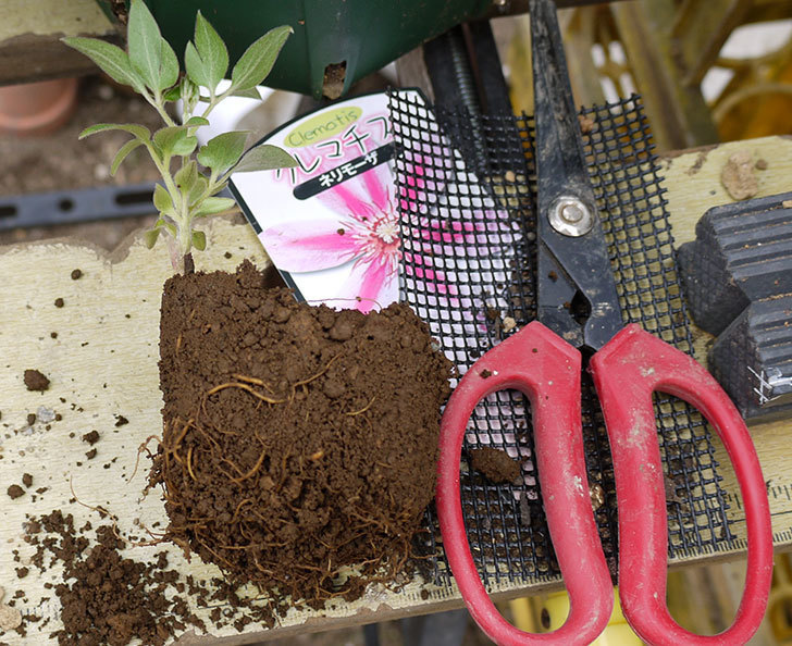 クレマチス-ネリモーザとピンクレッドをスリッド鉢に植えた。2016年-2.jpg
