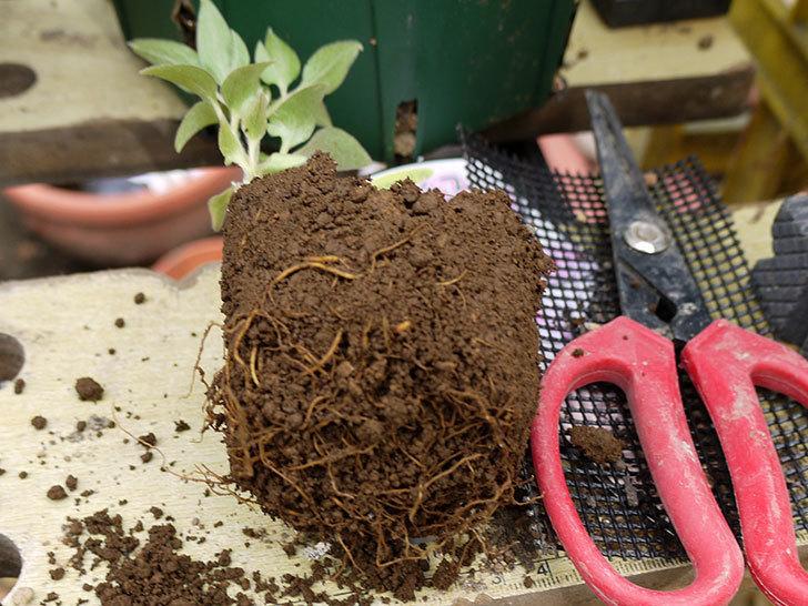 クレマチス-ネリモーザとピンクレッドをスリッド鉢に植えた。2016年-3.jpg