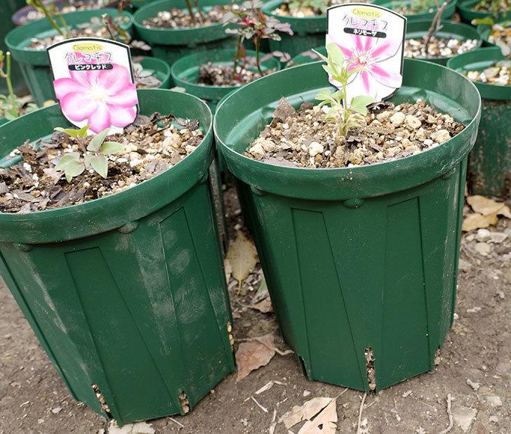 クレマチス-ネリモーザとピンクレッドをスリッド鉢に植えた。2016年-8.jpg