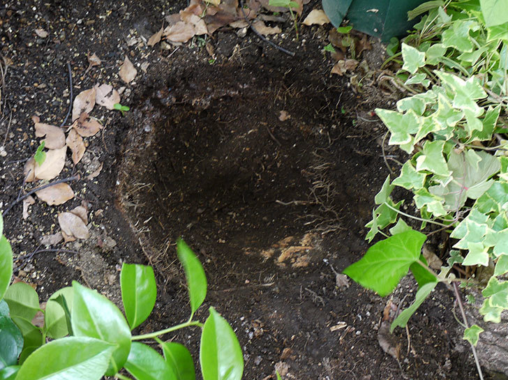クレマチス-フラグラント・スプリングをクスノキの下に地植えした。2016年-7.jpg
