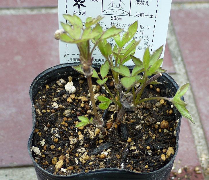 クレマチス-プリムローズ・スターの2年生苗をケイヨーデイツーで買って来た。2016年-2.jpg