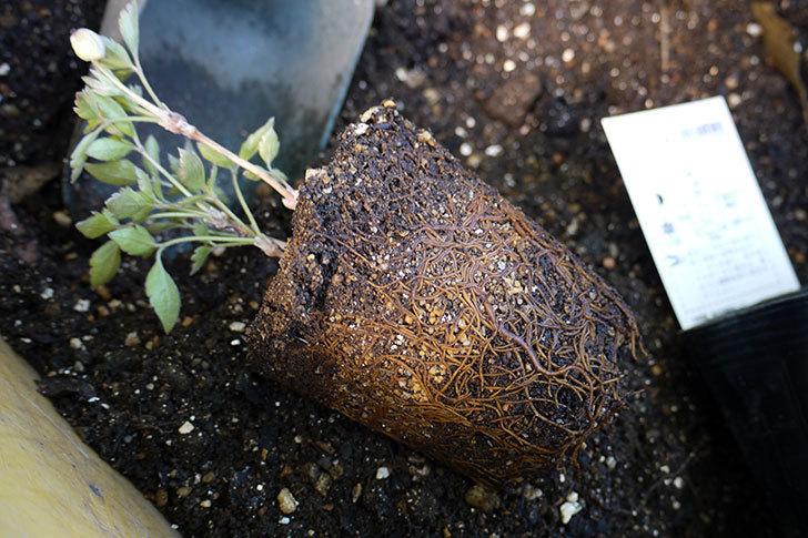 クレマチス-プリムローズ・スターをクスノキの下に地植えした。2016年-1.jpg