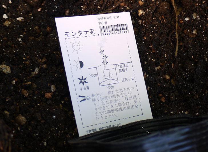 クレマチス-プリムローズ・スターをクスノキの下に地植えした。2016年-4.jpg