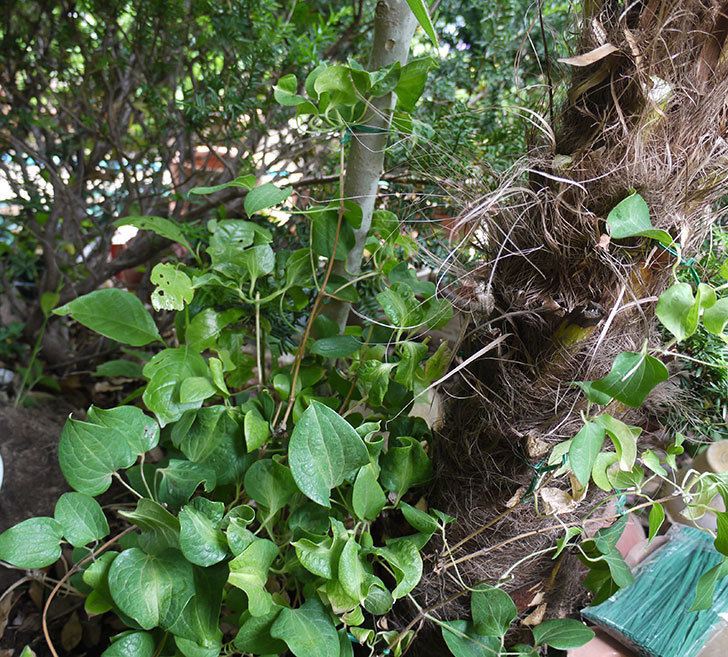 クレマチス-ベル・オブ・ウォーキングの開花株をシュロに側に地植えした。2016年-1.jpg