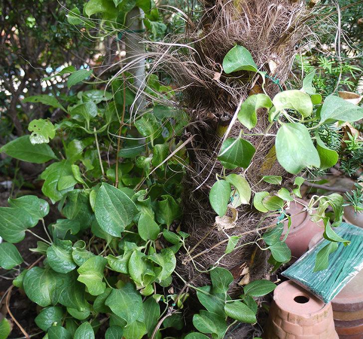 クレマチス-ベル・オブ・ウォーキングの開花株をシュロに側に地植えした。2016年-12.jpg