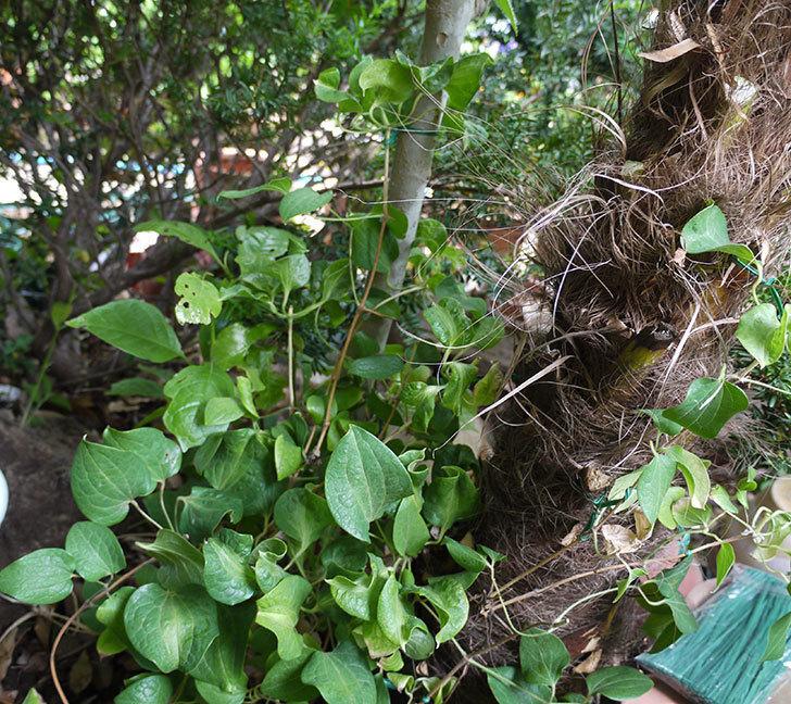 クレマチス-ベル・オブ・ウォーキングの開花株をシュロに側に地植えした。2016年-13.jpg