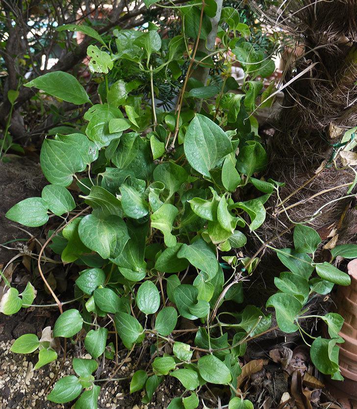 クレマチス-ベル・オブ・ウォーキングの開花株をシュロに側に地植えした。2016年-14.jpg