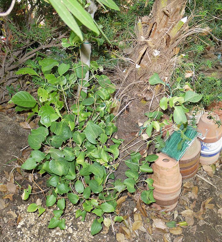 クレマチス-ベル・オブ・ウォーキングの開花株をシュロに側に地植えした。2016年-15.jpg