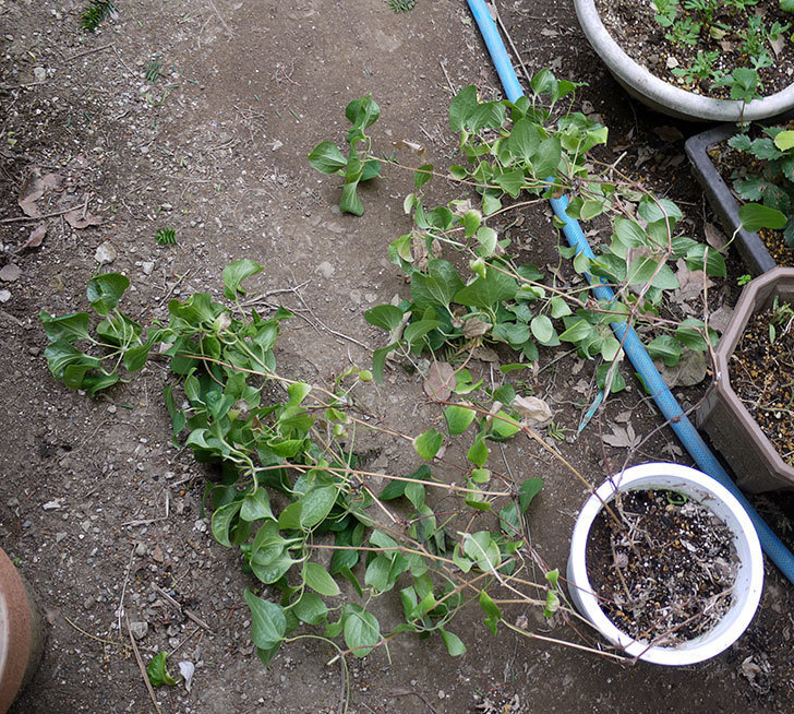 クレマチス-ベル・オブ・ウォーキングの開花株をシュロに側に地植えした。2016年-6.jpg