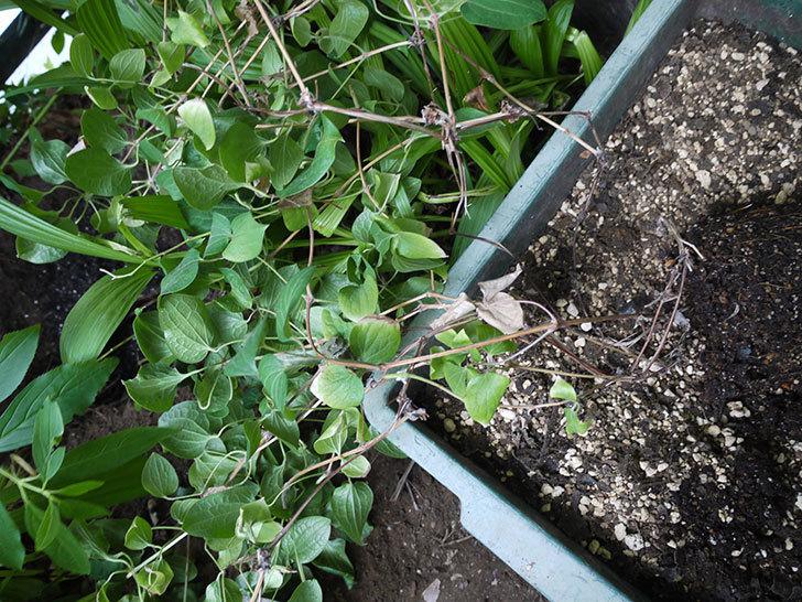 クレマチス-ベル・オブ・ウォーキングの開花株をシュロに側に地植えした。2016年-8.jpg