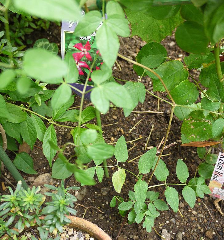 クレマチス-ルブラをツルバラの横に地植えした。2016年-1.jpg