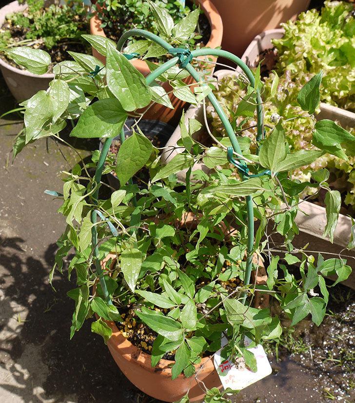 クレマチス-阿吹(アブキ)を鉢に植えた。2016年-1.jpg