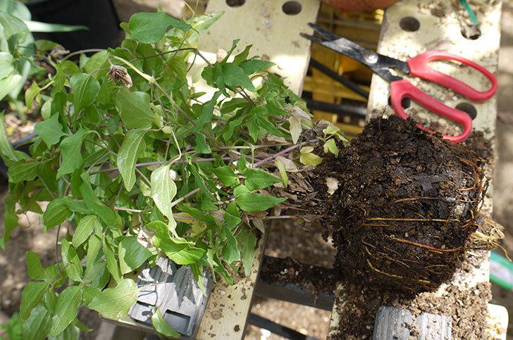 クレマチス-阿吹(アブキ)を鉢に植えた。2016年-2.jpg