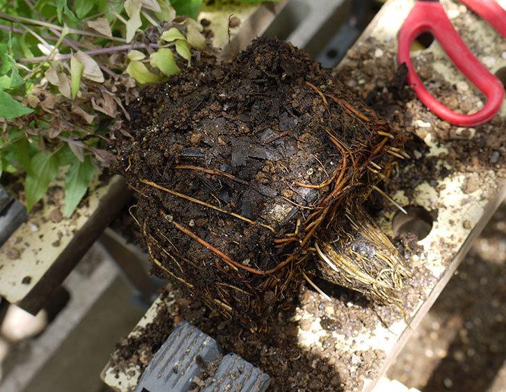 クレマチス-阿吹(アブキ)を鉢に植えた。2016年-3.jpg