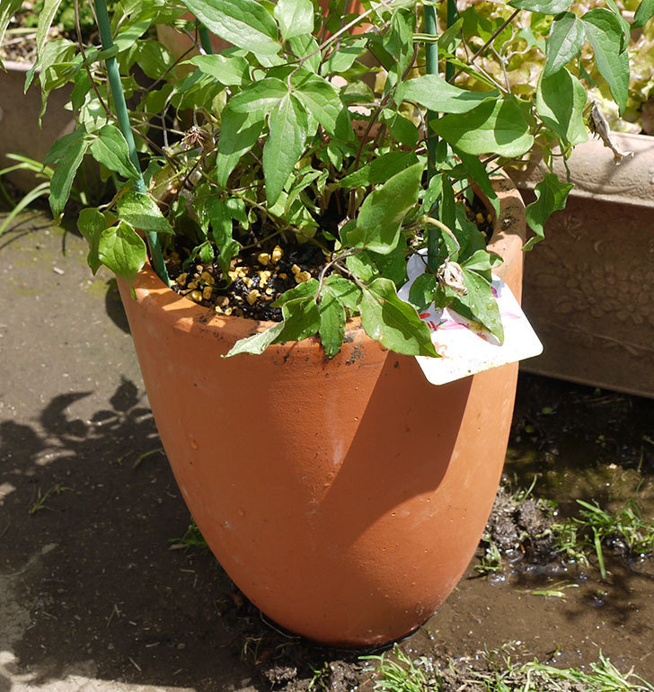 クレマチス-阿吹(アブキ)を鉢に植えた。2016年-8.jpg