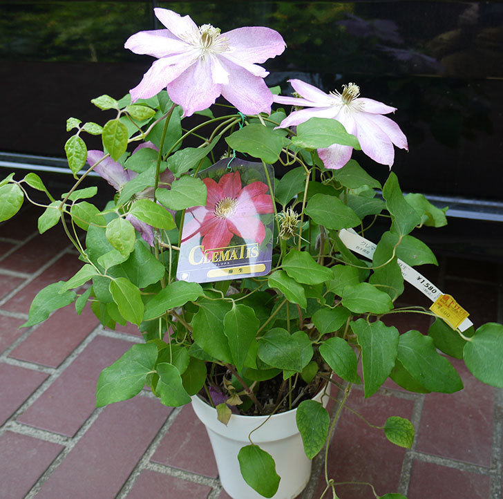 クレマチス-麻生(アサオ)の開花株がホームズで800円だったので買って来た。2016年-1.jpg