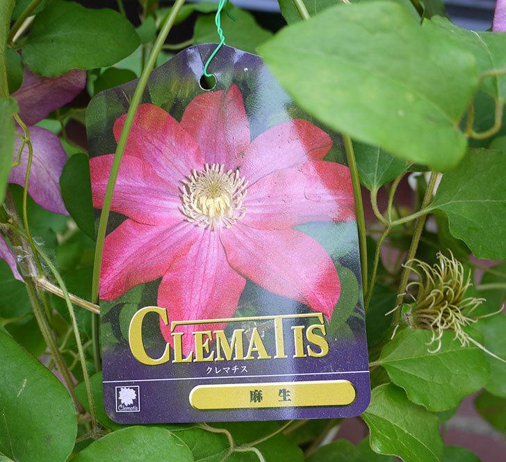 クレマチス-麻生(アサオ)の開花株がホームズで800円だったので買って来た。2016年-3.jpg