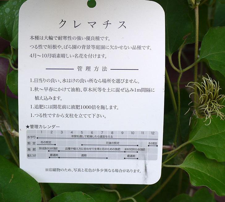 クレマチス-麻生(アサオ)の開花株がホームズで800円だったので買って来た。2016年-4.jpg