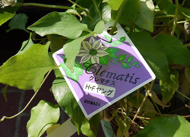 クレマチス-H・Fヤングがホームズで600円だったので買って来た。2016年-3.jpg