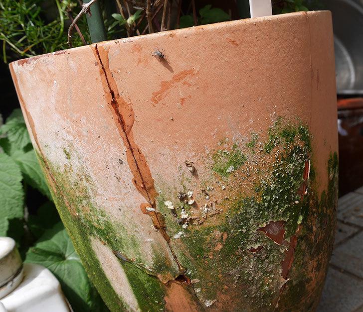 クレマチスの鉢が強風で倒れて割れたので修理した。2018年-12.jpg