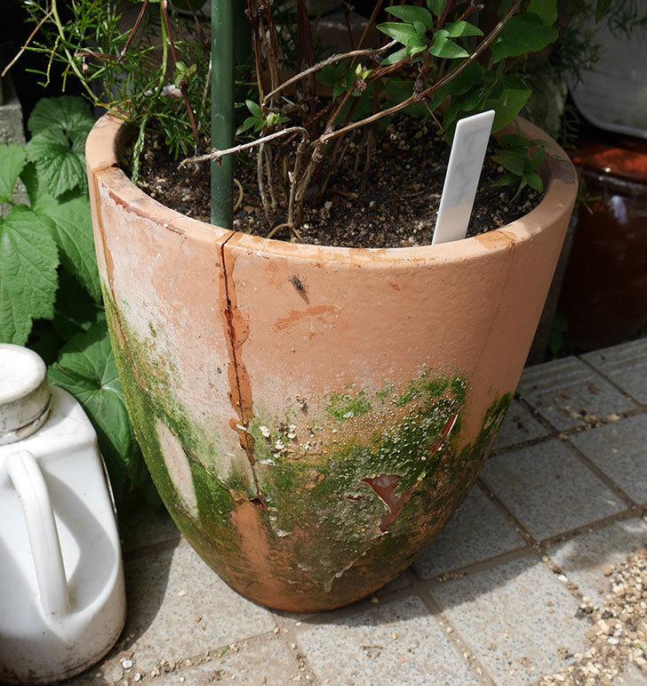 クレマチスの鉢が強風で倒れて割れたので修理した。2018年-9.jpg