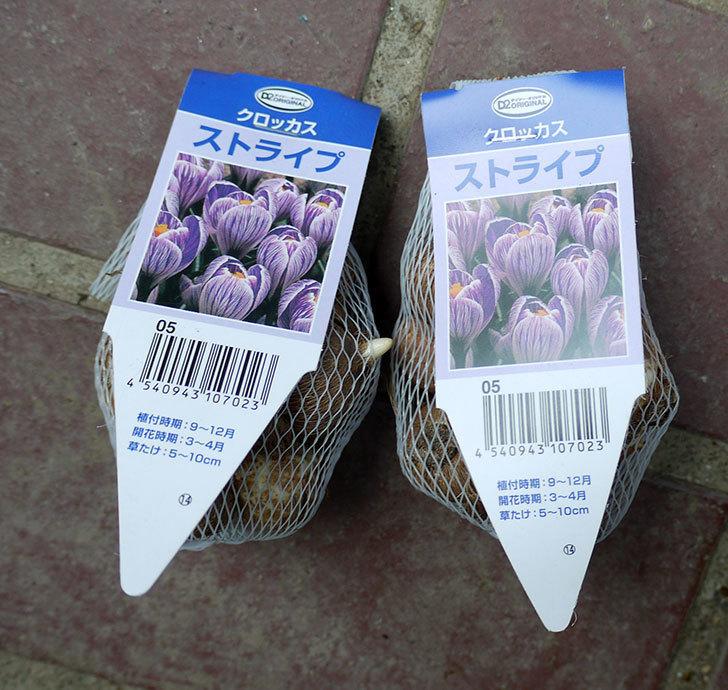 クロッカスの球根がケイヨーデイツーで198円だったので2袋買って来た。2016年-1.jpg