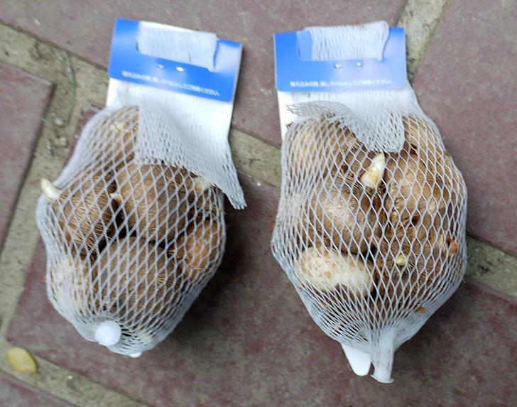 クロッカスの球根がケイヨーデイツーで198円だったので2袋買って来た。2016年-2.jpg