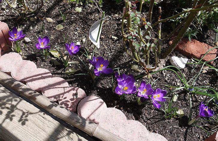 クロッカスの花がたくさん咲いた。2017年-2.jpg