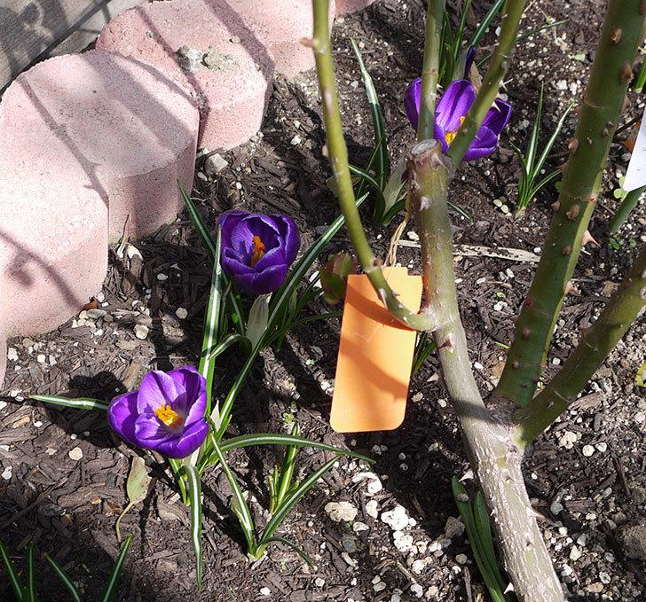 クロッカスの花が咲いた。2017年-4.jpg