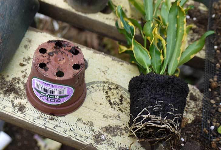 クロトン-カーリーを鉢に植え替えた。2015年-2.jpg