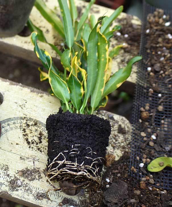 クロトン-カーリーを鉢に植え替えた。2015年-4.jpg