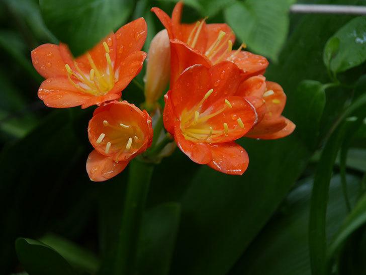 クンシラン(君子蘭)の花がたくさん咲いた。2021年-001.jpg