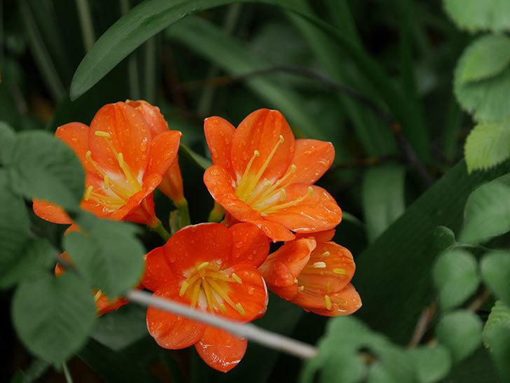 クンシラン(君子蘭)の花がたくさん咲いた。2021年-003.jpg