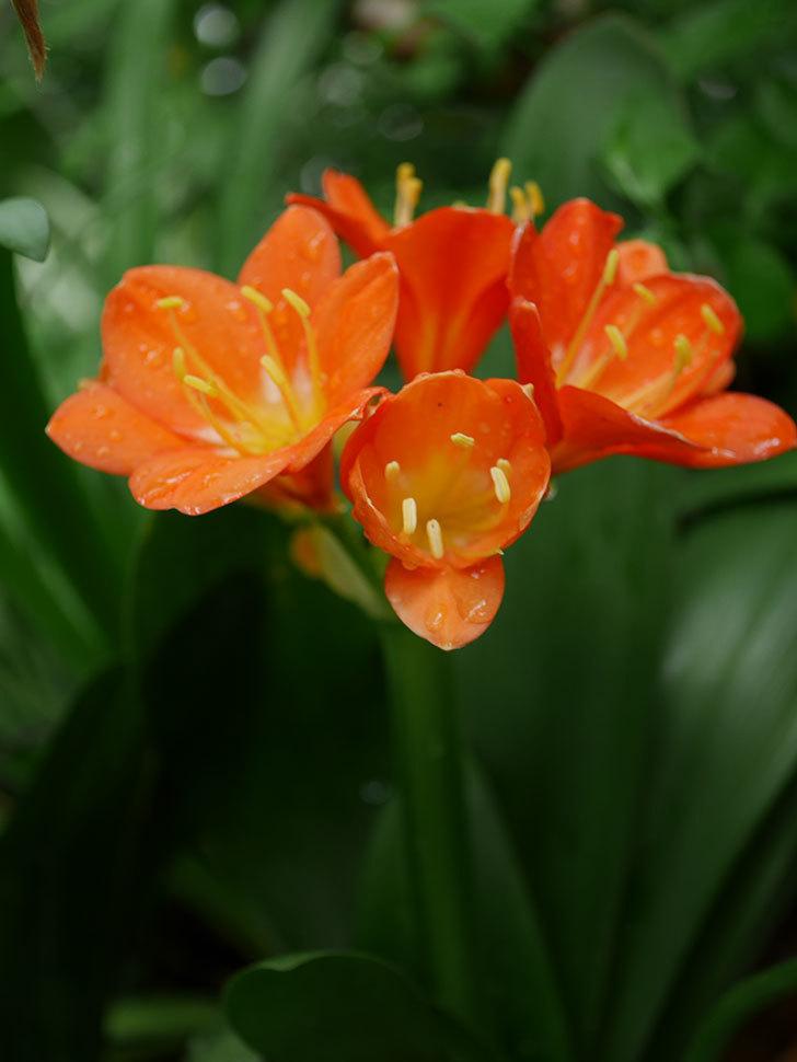 クンシラン(君子蘭)の花がたくさん咲いた。2021年-007.jpg