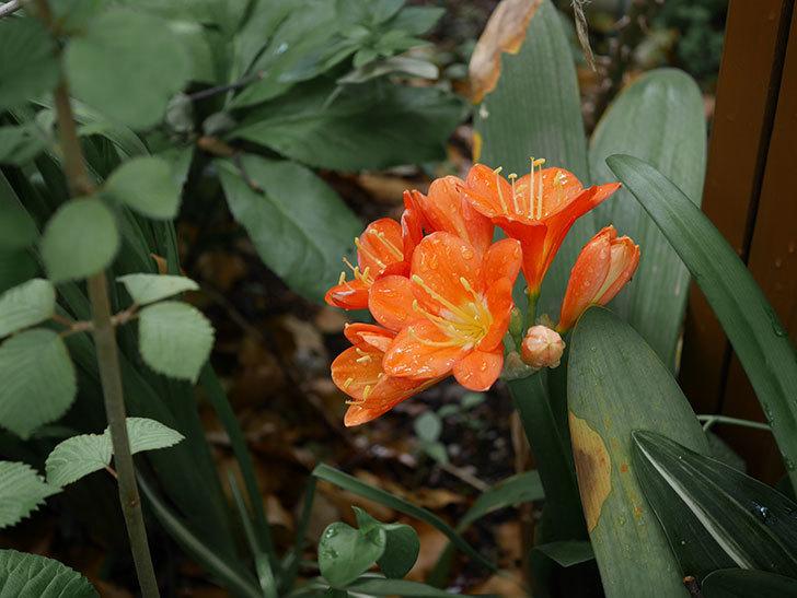 クンシラン(君子蘭)の花がたくさん咲いた。2021年-012.jpg