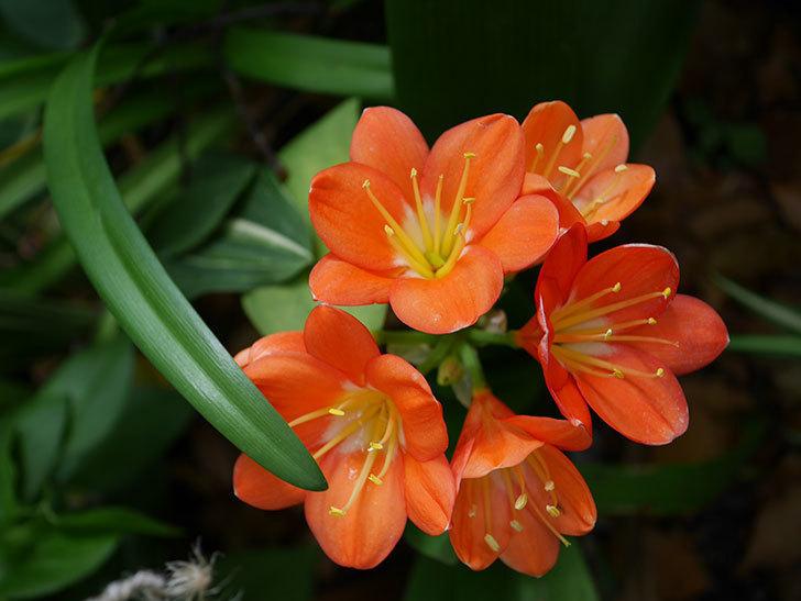 クンシラン(君子蘭)の花がたくさん咲いた。2021年-018.jpg