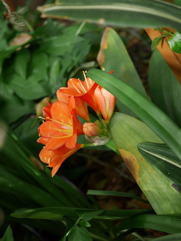 クンシラン(君子蘭)の花がたくさん咲いた。2021年-020.jpg