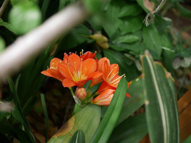 クンシラン(君子蘭)の花がたくさん咲いた。2021年-021.jpg