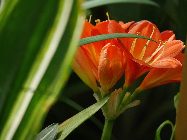 クンシラン(君子蘭)の花がたくさん咲いた。2021年-022.jpg