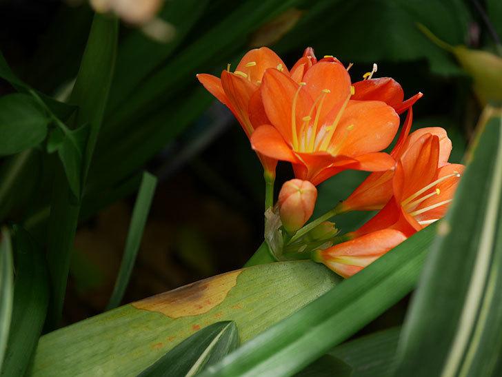 クンシラン(君子蘭)の花がたくさん咲いた。2021年-023.jpg