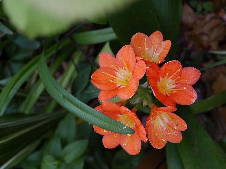 クンシラン(君子蘭)の花がたくさん咲いた。2021年-030.jpg