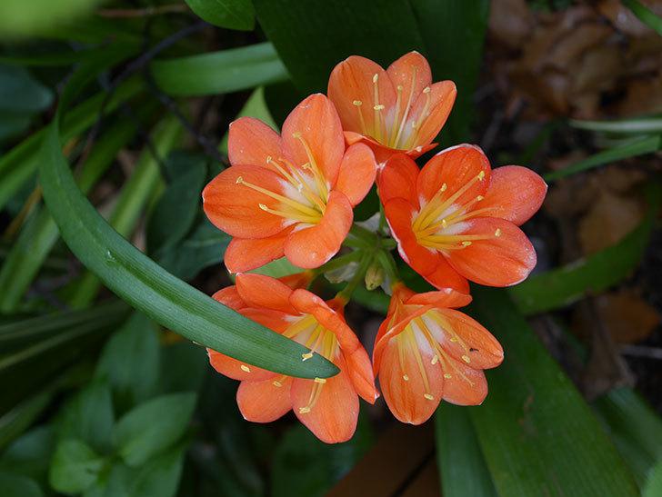 クンシラン(君子蘭)の花がたくさん咲いた。2021年-031.jpg