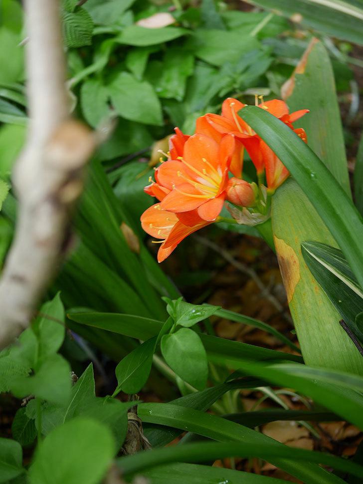 クンシラン(君子蘭)の花がたくさん咲いた。2021年-032.jpg