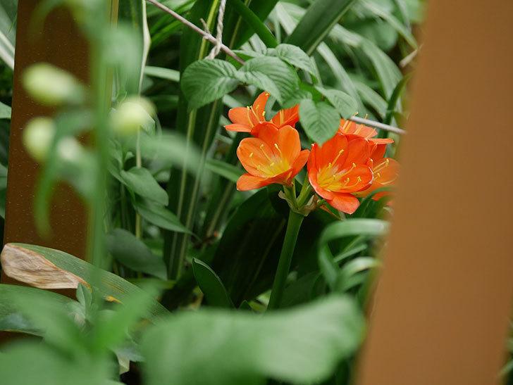 クンシラン(君子蘭)の花がたくさん咲いた。2021年-034.jpg