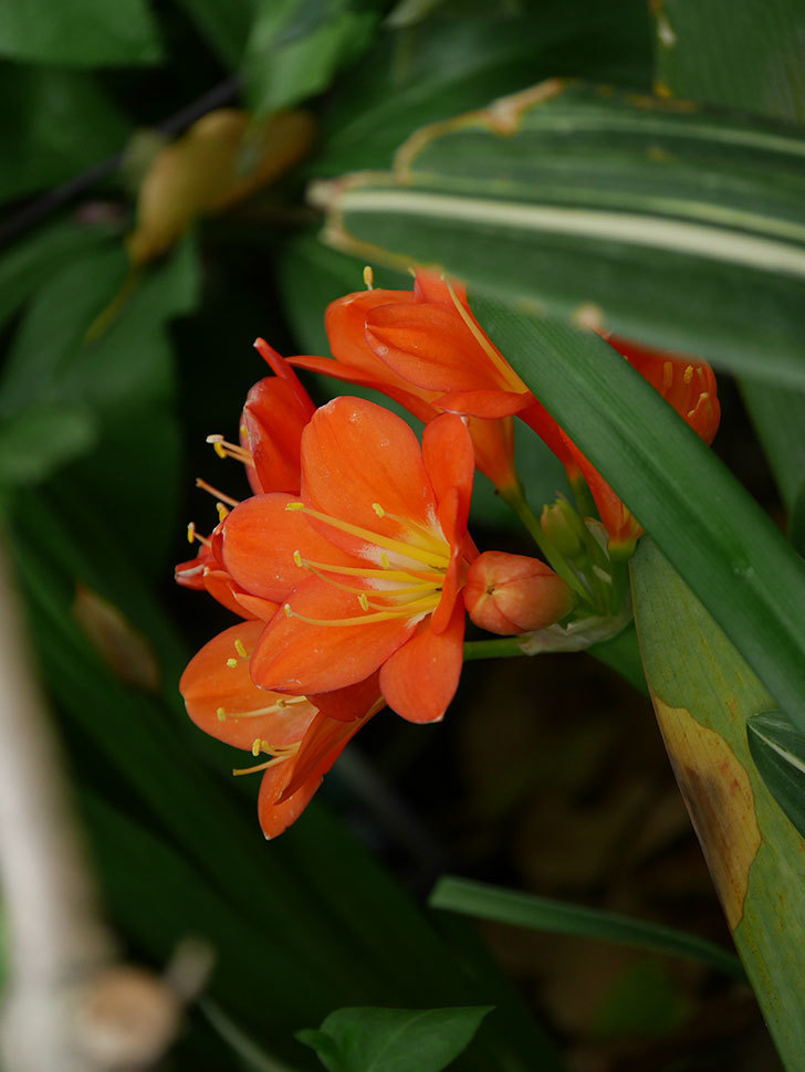 クンシラン(君子蘭)の花がたくさん咲いた。2021年-039.jpg