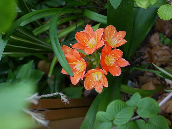 クンシラン(君子蘭)の花がたくさん咲いた。2021年-045.jpg