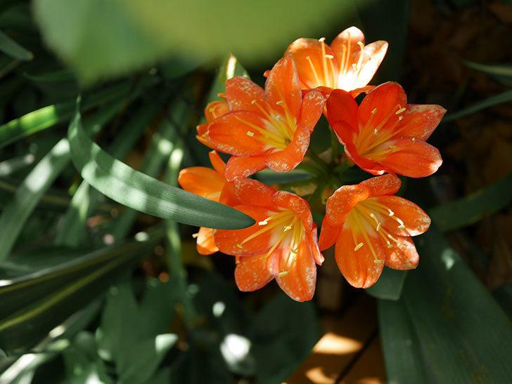 クンシラン(君子蘭)の花がたくさん咲いた。2021年-049.jpg