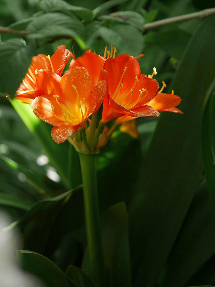 クンシラン(君子蘭)の花がたくさん咲いた。2021年-050.jpg