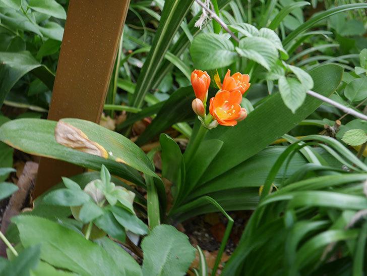 クンシラン(君子蘭)の花が咲いた。2021年-001.jpg